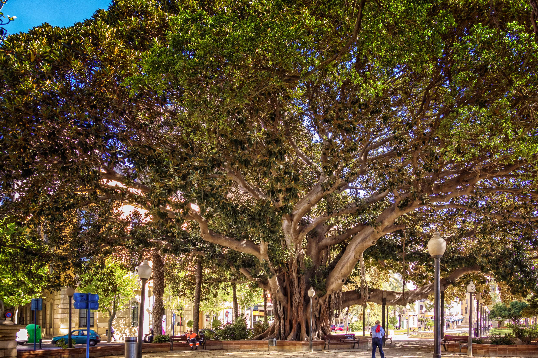 Ficus monumental